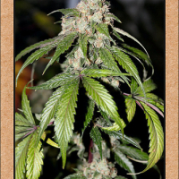 Samsquanch OG Auto Feminised Cannabis Seeds | Mephisto Genetics