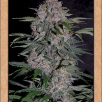 Strawberry Nuggets Auto Feminised Cannabis Seeds | Mephisto Genetics