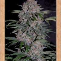 Strawberry Nuggets Auto Feminised Cannabis Seeds | Mephisto Genetics