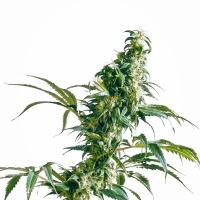 Mexican Sativa Feminised Cannabis Seeds   Sensi Seeds