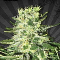 MiG 29 Auto flowering Feminised Cannabis Seeds | Auto Seeds