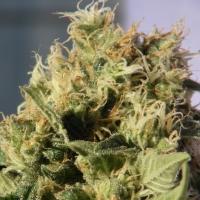 Mikromachine Auto Feminised Cannabis Seeds