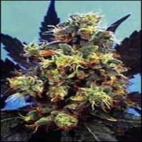 Mind Bender Feminised Cannabis Seeds | KC Brains Seeds