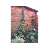 Missile 33 Feminised Cannabis Seeds | Flash Super Autos
