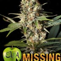 Missing in Barcelona (MIB) Feminised Cannabis Seeds