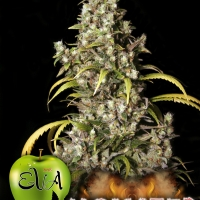 Monster Feminised Cannabis Seeds