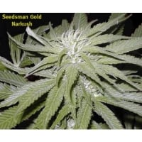 Narkush Regular Cannabis Seeds | Seedsman