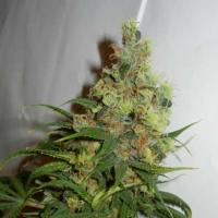 Neil Haze Regular Cannabis Seeds | Kannabia
