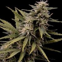 Nemesis Feminised Cannabis Seeds | Seedsman