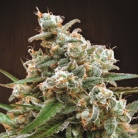 Nepalese Jam Feminised Cannabis Seeds | Ace Seeds