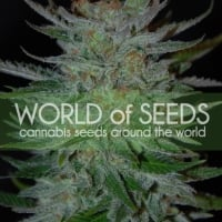 New York 47 Feminised Cannabis Seeds | World of Seeds