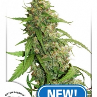 CBD Auto Compassionate Lime Feminised Cannabis Seeds | Dutch Passion