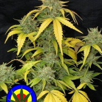 Auto Grapefruit Haze Feminised Cannabis Seeds | Next Generation Seeds
