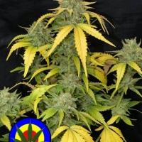 Auto Grapefruit Haze Feminised Cannabis Seeds | Next Generation Seeds