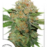 Night Queen Feminised Cannabis Seeds | Dutch Passion