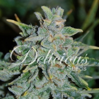 Northern Light Blue Auto Feminised Cannabis Seeds | Delicious Seeds