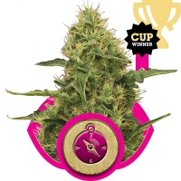 Northern Light Feminised Cannabis Seeds | Royal Queen Seeds