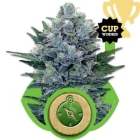 Northern Light Auto Feminised Cannabis Seeds | Royal Queen Seeds