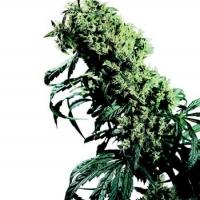 Northern Lights #5 x Haze Regular Cannabis Seeds | Sensi Seeds