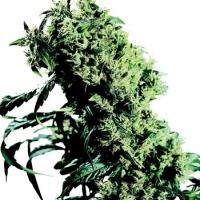 Northern Lights #5 x Haze Feminised Cannabis Seeds   Sensi Seeds