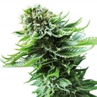 Northern Lights Automatic Feminised Cannabis Seeds | Sensi Seeds