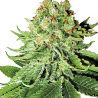 Northern Lights Automatic Feminised Cannabis Seeds | White Label Seed Company