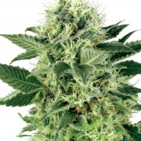 Northern Lights Feminised Cannabis Seeds | White Label Seed Company