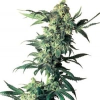 Northern Lights Regular Cannabis Seeds | Sensi Seeds