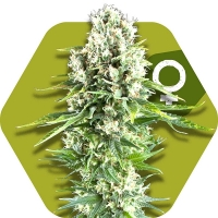 Northern Lights XL Feminised Cannabis Seeds | Zambeza Seeds