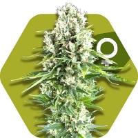 Northern Lights XL Feminised Cannabis Seeds | Zambeza Seeds