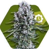 Northern Light XL Auto Feminised Seeds | Zambeza Seeds