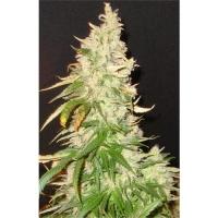 Northern Soul Feminised Cannabis Seeds | Seedsman
