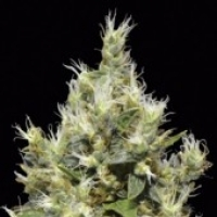 CBD Seeds Northern Cannabis Seeds