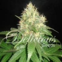 Northern Light Blue Feminised Cannabis Seeds | Delicious Seeds