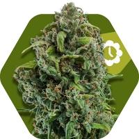 NYC Diesel Auto Feminised Cannabis Seeds | Zambeza Seeds