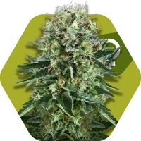 OG Bubble Gum Feminised Cannabis Seeds | Zambeza Seeds