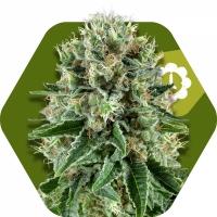 OG Bubble Gum Auto Feminised Cannabis Seeds | Zambeza Seeds