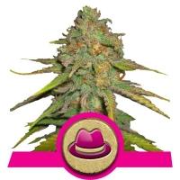 OG Kush Feminised Cannabis Seeds | Royal Queen Seeds