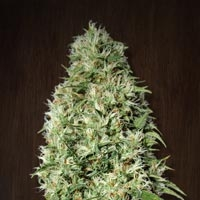Orient Express Feminised Cannabis Seeds