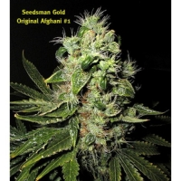 Afghani No1 Regular Cannabis Seeds | Seedsman