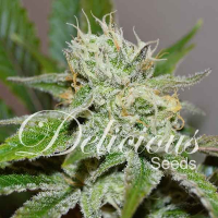 Original Juan Herer Regular Cannabis Seeds | Delicious Seeds