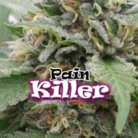 Pain Killer Feminised Cannabis Seeds | Dr Underground