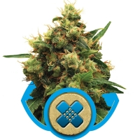 Painkiller XL Feminised Cannabis Seeds | Royal Queen Seeds