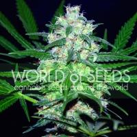 Pakistan Valley Regular Cannabis Seeds | World of Seeds