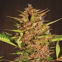 Pakistan Chitral Kush Regular Cannabis Seeds