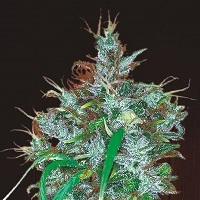 Buy Ace Seeds Panama Haze Feminised Cannabis Seeds