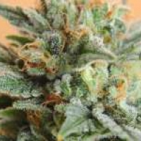 Papaya Feminised Cannabis Seeds | Nirvana