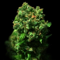 Love Peace Feminised Cannabis Seeds(formerly known as Cheese)