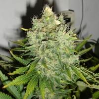 Pepperjack Haze Feminised Cannabis Seeds | Black Skull Seeds