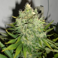 Pepperjack Haze Feminised Cannabis Seeds | Black Skull Seeds